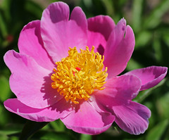"""Mischief"" Peony (TomIrwinDigital) Tags: peony peonies mischief rbg rbgblooms lakinggarden ontario burlington fantastic flower fantasticflower"