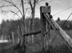 (toulouse goose) Tags: film kodak tmax 400 mamiya 645 e sekor 150mm 35 mediumformat 120 d76 blackandwhite epson v500 farm fence fencepost spring