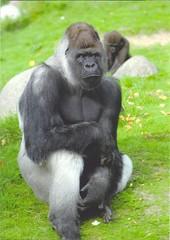 Bokito (Patriciaa220 Postcrossing) Tags: swap dieren apen gorilla bokito