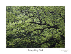 Rainy Day Oak (baldwinm16) Tags: il illinois may themortonarboretum environment forest habitat landscape midwest nature season spring woodland woods mortonarboretum natureofthingsphotography