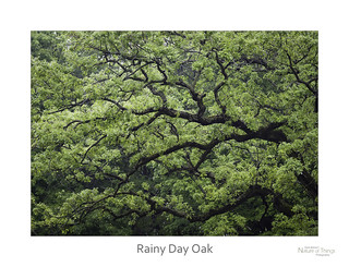 Rainy Day Oak