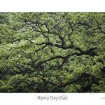 Rainy Day Oak thumbnail