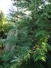 Wollemia Nobilis 11.11.2014. (NashiraExoticGarden) Tags: wollemianobilis exoticgarden exotentuin 11112014