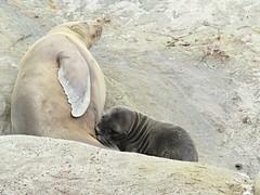 It's the Little Things, like seeing a nursing baby sea lion.. (Bennilover) Tags: sealionpup sealions lajolla california sandiego baby pup nursery rocks ocean wild mammals
