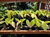Cacao (Theobroma cacao) seedlings: Nitrogen (yellowing) and potassium (marginal leaf scorching) deficiencies (Scot Nelson) Tags: cacao nutrient deficiency deficiencies potassium k nitrogen n yellowing marginal leaf scorch scorching