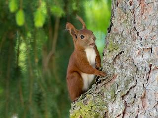Red squirrel / Eichhörnchen (Sciurus vulgaris)