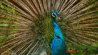 Peacock Peacock Feather Fanned Out Feather  Bird One Animal Animal Wildlife Animal Themes Multi Colored No People Close-up Blue Animals In The Wild Full Frame Beauty In Nature Nature Beauty Vanity Day Outdoors Indian Blue Peacock Peafowl