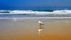 California Dreaming (danielledufour430) Tags: beach water ocean sea sand tide coast pacific pacificbeach pacificocean california sandiego seagull bird reflection westcoast landscape seascape blue sonya6000 nature wildlife ngc