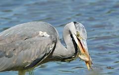 Grey Heron caught a fish. (Bogger3.) Tags: greyheron caughtafish venuspool canon600d tamron150x600lens fullzoom d handheld sunrays5 coth5