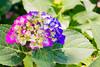 _DSC5279 (sayo-tsu) Tags: hydrangea 紫陽花 アジサイ saitama sattecity gongendopark 権現堂