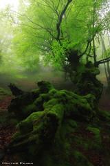 Forest creatures (Hector Prada) Tags: bosque niebla hayedo primavera árbol hojas atmósfera naturaleza forest fog tree spring mist leaves mood moss musgo nature paisvasco basquecountry mystical
