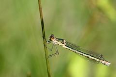 leste dryade ( Lestes dryas ) Erdeven 170617a2 (papé alain) Tags: insectes libellules odonates lestedryade lestesdryas erdeven morbihan bretagne france