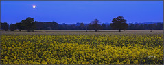A Blue Hour. (Picture post.) Tags: landscape nature green oiseed yellow moon blue morning sunrise trees arable fields crops paysage arbre flowers pungent scent