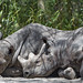 Two rhinos resting together