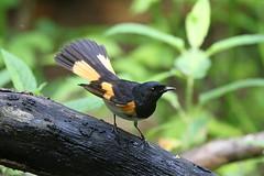 American Redstart (Alan Gutsell) Tags: americanredstart american redstart warbler songbird alan nature wildlife photo canon galveston island gulf coast migration