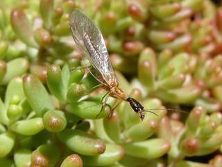 Snakefly on Sedum.