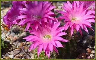 More Cactus Blooms