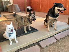 The Pack (A Wild Western Heart) Tags: fiona tannersquid lilybelle dogs pack canine hund cane chien perro ilovedogs rescues
