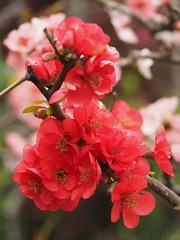 Plum blossoms (M_Strasser) Tags: plumblossoms olympus olympusomdem1 japan kamakura hasedera 海光山慈照院長谷寺