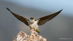 Violet-green Swallow (Bob Gunderson) Tags: birds santaclaracounty southbay swallows tachycinetathalassina violetgreenswallow coth5