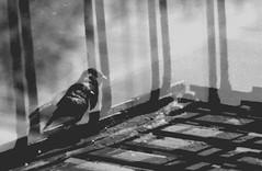 Rolleicord (biblical mixtape) Tags: rolleicordvb bw 120 film bird brooklyn fireescape doubleexposure