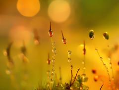 Dawn's chorus (miss gecko) Tags: dawn chorus moss concept