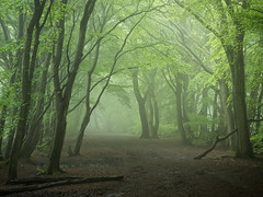 The Long Spring (Damian_Ward) Tags: ©damianward damianward beech trees chilterns chilternhills thechilterns fog mist buckinghamshire wood forest woodland