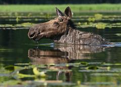 Moose Reflecting Pool (ken.helal) Tags: