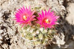 _F2A0235 (warrengeorgebell) Tags: flower macromondays