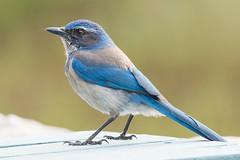 Bright (Andrew_Leggett) Tags: scrubjay aphelocomacalifornica californianscrubjay bird corvid perched blue bown green nature natural forest wood scrub california