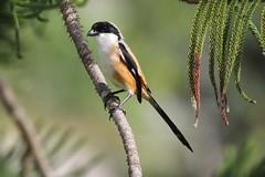 Long tailed shrike (bilska.anna) Tags: bali indonesia bird
