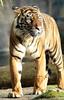 sumatran tiger Jarum Burgerszoo JN6A5926 (joankok) Tags: sumatraansetijger tijger tiger sumatrantiger asia azie kat cat mammal zoogdier dier animal burgerszoo pantheratigrissumatrae