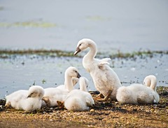Mute Swan Cygnets (Joan M) Tags: 4174802 cygnets babyswan swan muteswan birds illinois nonnative bannermarsh bird nature wildlife spring2017
