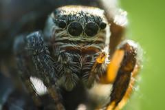 Hyper Macro (guillaume.randon) Tags: nikon saltique araignée d7200 macro sigma105mm kenko14 dcr250raynox hypermacro