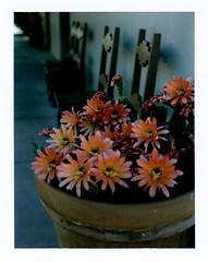 cereus cactus in bloom at depot (EllenJo) Tags: cereus cactus flower bloom verdecanyonrailroaddepot may24 2017 ellenjo polaroidpathfinder fujifp100c fujiinstantfilm clarkdalearizona f56 160 springtimeinaz az