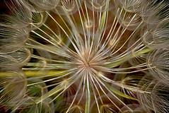 Dandelion gros plan _3613 (ichauvel) Tags: dandelion pissenlit fleur flore détails grosplan macro lumiére light couleurs colours nature beautyofnature extreieur outside var massifdelesterel saintraphael agay france europe westreneurope printemps spring journée day mai may