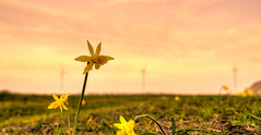 One furious daffodil. (Alex-de-Haas) Tags: 1635mm d750 dutch dutchskies hdr holland hollandseluchten lowcountries nederland nikkor nikkor1635mm nikon nikond750 noordholland thenetherlands avond beautiful bloemen bloemenbijeenkomst bloemenveld bloemenvelden bright daffodil daffodils daglicht daylight depthoffield evening field flower flowerfields flowerbed fullframe highdynamicrange laagland landscape landscapephotography landschap landschapsfotografie lente licht light lucht luchten mooi narcis narcissen narcissus nature natuur outdoor overdag plant polder serene skies sky spring sun sundown sunny sunset tripod zon zonnig zonsondergang
