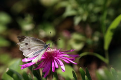 Cabbage Butterfly on the Delosperma Cooperi (Johnnie Shene Photography(Thanks, 2Million+ Views)) Tags: cabbagebutterfly commonbutterfly whitebutterfly delospermacooperi delosperma livingstonedaisy korea asia butterfly lepidoptera pierisrapae pieris nature natural wild wildlife livingorganism tranquility adjustment fulllength depthoffield highangle perching resting awe wonder spring day animalandplant plant flower flora floral flowering lighteffect sunlight daylight bokeh feeding behaviour animal insect bug photography horizontal outdoor colourimage fragility freshness nopeople foregroundfocus interesting macro closeup magnified feeler wings white vivid backgroundblur canon eos80d 80d tamron 90mm f28 11 lens 리빙스톤데이지 데이지 꽃 나비 배추흰나비 흰나비