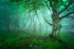 Bosque misterioso (Mimadeo) Tags: forest fog spring trees green wet foggy misty mist branch nature landscape morning leaves trunk light mystery mysterious lichen fantasy fairy magic ethereal magical mystical gloomy unreal twisted moss beautiful dreamy