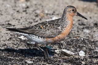 Rufa Red Knot (Banded ZN) ©