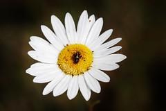 Daisy with Bug (Hugo von Schreck) Tags: hugovonschreck stollhofen badenwürttemberg deutschland macro makro flower blume blüte daisy insect insekt canoneos5dsr tamron28300mmf3563divcpzda010