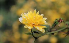 Yellow Blossom (LamiaDeTenebris) Tags: yellow gelb blossom blüte garden garten nature natur tree baum bokeh צהוב germany deutschland גרמניה