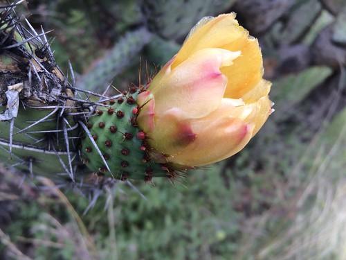nopal flower