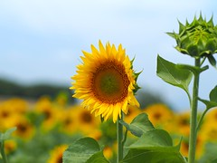 Sunflower (Nikos Karatolos) Tags: nature flowers sunflowers samyang 50mm f12 yellow insects bees