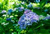 _DSC5247 (sayo-tsu) Tags: hydrangea 紫陽花 アジサイ saitama sattecity gongendopark 権現堂