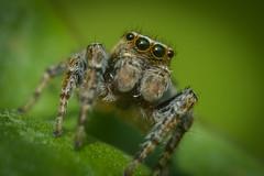 Tu descend ? (guillaume.randon) Tags: d7200 nikon macro hypermacro saltique araignée sigma105mm kenko14 dcr250raynox