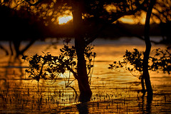 gold in the mangroves (gnarlydog) Tags: reflection refittedlens sunset sea water vintagelens manualfocus projectionlens russianlens shallowdepthoffield australia bokeh mangroves contrejour backlit flare silhoutte 35kp18120