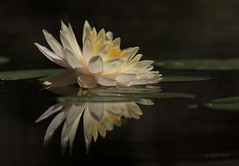 Reflected Lily (SDRPhoto321) Tags: art botanical canon dof dark depthoffield color colorful eos dress florida