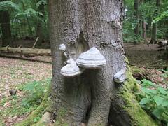 Weltnaturerbe Serrahner Buchenwälder (Waldvogel_51) Tags: wald natur buchenwald weltnaturerbe müritz mecklenburgvorpommern serrahn neustrelitz urwald