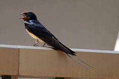 swallow (lorellabianchi) Tags: swallow rondine spring